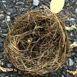 Empty Nest found directly on my path on my morning walk