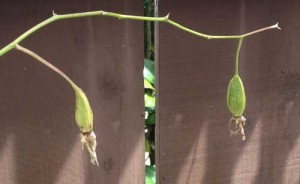 Orchid Seed Pods